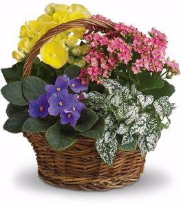 Blooming Dish Garden Basket in Winnipeg, MB   CHARLESWOOD FLORISTS