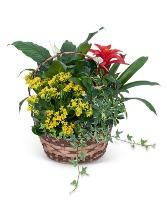 Blooming Dish Garden Plant
