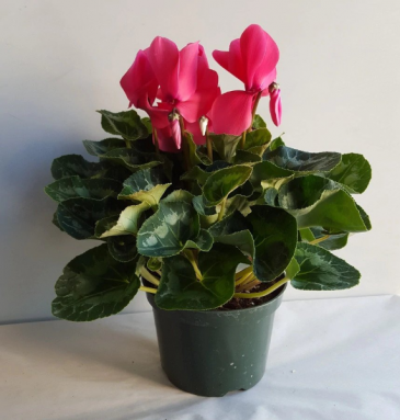 Blooming House Plant