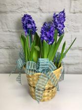 Blooming Hyacinth  Bulb Plant
