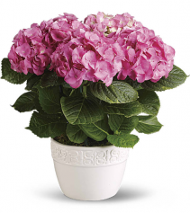 """12"""" Blooming Hydrangea available in pink"""