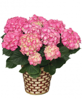 Blooming Hydrangea (Color May Vary) Blooming Plant