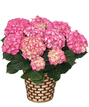 BLOOMING HYDRANGEA (Color may vary) in Tulsa, OK | THE WILD ORCHID FLORIST