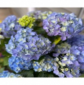 Blooming Hydrangea Garden Plant