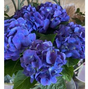Blooming Hydrangea Garden Plant in Mattapoisett, MA   Blossoms Flower Shop