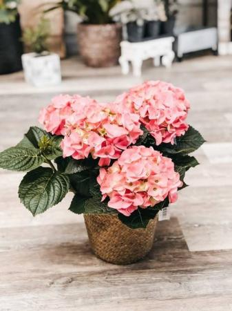 Blooming Hydrangea Pink Plant