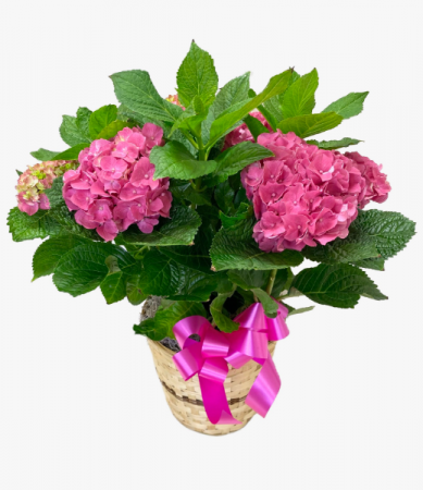 *SOLD OUT* Blooming Hydrangea Plant - Large
