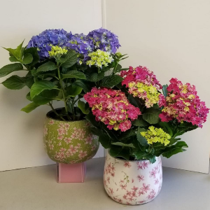 Blooming Hydrangea Potted Plant in Fulton, NY | DeVine Designs By Gail