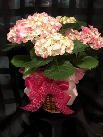 Blooming Hydrangea Valentine Hydrangea