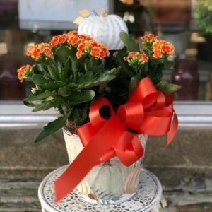 Blooming Kalanchoe Houseplant in Mattapoisett, MA | Blossoms Flower Shop