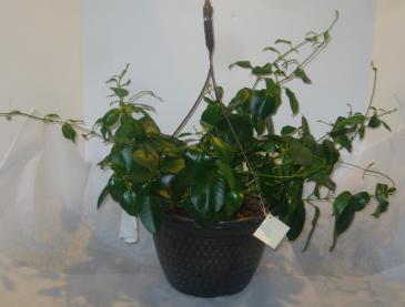 BLOOMING MANDEVILA HANGING BASKET Outdoor Blooming Plant