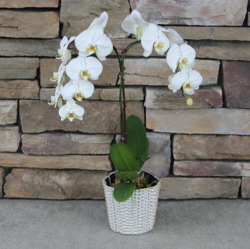 Blooming Orchid Blooming Plant