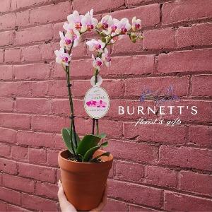 Blooming Orchid Plant in Kelowna, BC   Burnett's Florist