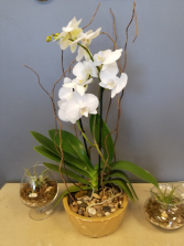 Blooming Orchid Plant Houseplant