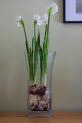 Blooming Paperwhite Bulbs Bulbs, Blooming Plant