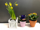 Blooming Plant 4inch (Container not included)