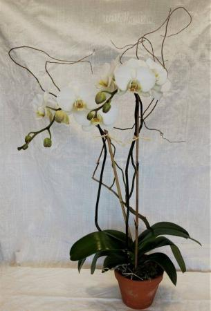 Double Phalaenopsis Orchid Blooming Plant