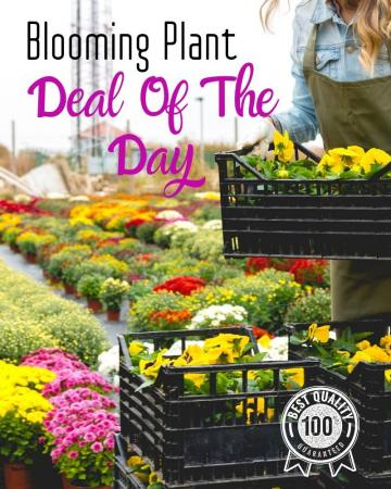 Blooming Plant Deal of the Day Arrangement