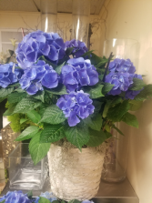 Blooming Plant Hydrangea