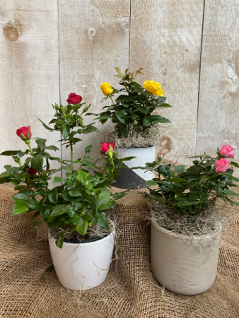 Blooming Rose bushes potted plant