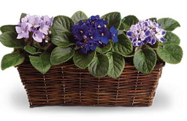 Blooming violets in basket  Plants