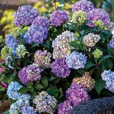 BloomStruck Hydrangea  Hardy Hydrangea Repeat Blooming