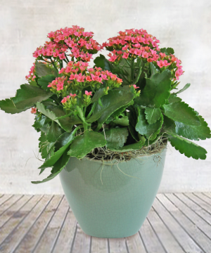 Bloooming Kalanchoe  Plant in Wauseon, OH | ANYTHING GROWS