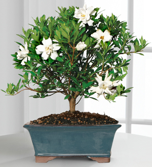 Blossoming Abundance Gardenia Bonsai 8 inch .WGPB11-N