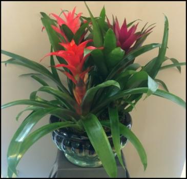 Blossoming Bromeliad Plant
