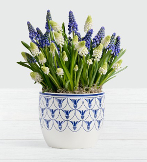 Blue and White Magic Muscari Bulb Garden  .WGP1672-N