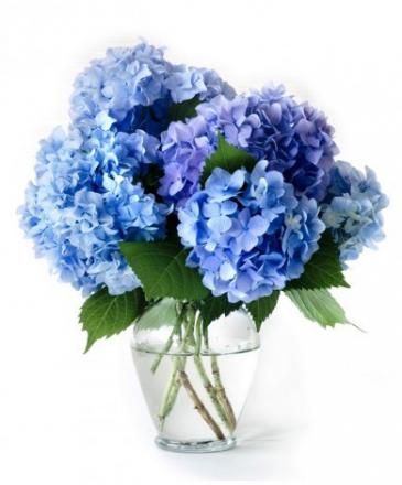Blue Bayou Hydrangeas Hydrangeas