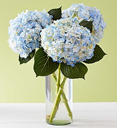 Blue Beauty in Hydrangea  Hydrangeas