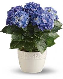Blue Hydrangea Blooming Plant