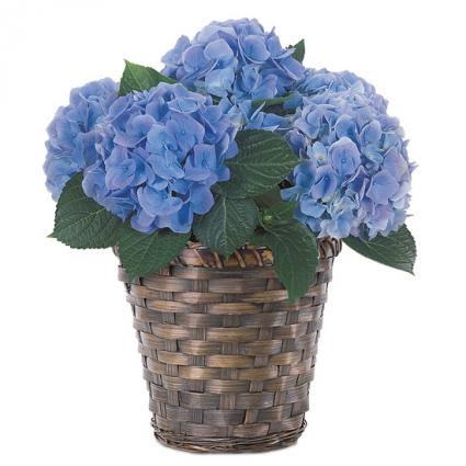 blue or Purple hydrangea in a basket