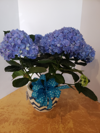 Blue hydrangea in ceramic pot Plant