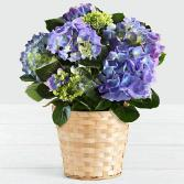 Blue / or Pink Hydrangea Plant