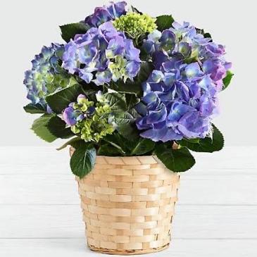 Blue Hydrangea Blooming Plants