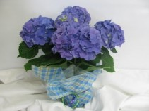Blue Hydrangea Plant blooming plant ,easter, spring