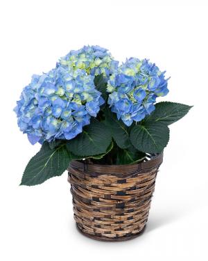Blue Hydrangea Plant Plant in Nevada, IA | Flower Bed