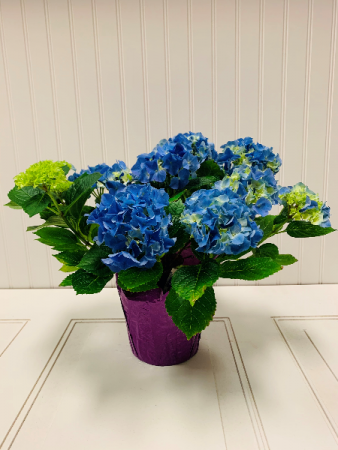 Blue Hydrangea Potted Plant