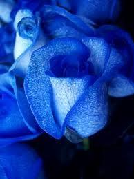 Blue Roses Cut flowers - no vase