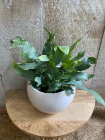 Blue Star Fern  plant