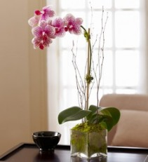 Blushing Pink Orchid Phalaenopsis Orchid in Mossy Glass Cube