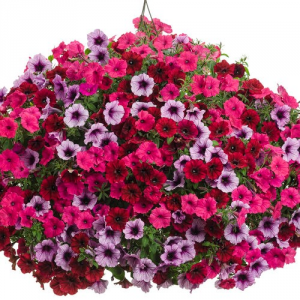 "Grand Traverse -- 12"" Hanging Basket  in Emmetsburg, IA 