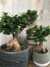 Bonsai Ficus Retusa  2 sizes available priced with pots