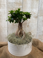 Bonsai Ficus Retusa plant