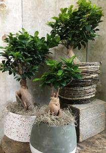 Bonsai Ficus Retusa Plant in pot