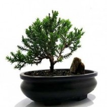 Bonsai Plant Juniper Bonsai