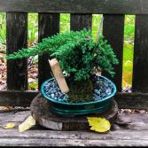 Bonsai Tree   in Iowa City, Iowa | Every Bloomin' Thing
