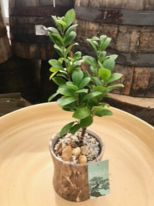 "Bonsai Tree Assorted Bonsai Trees 4""  in Balsam Lake, WI 